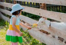 Karmienie kozy